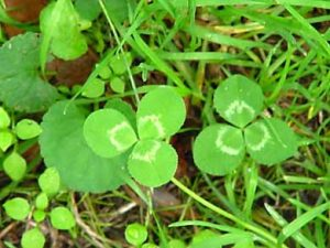 Clover identification